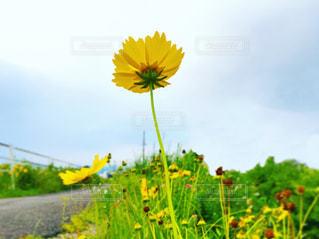 下から見た上げた黄色い花と空の写真・画像素材[2241301]