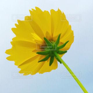 下から見上げた黄色い花の写真・画像素材[2245028]