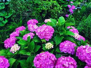 紫陽花の写真・画像素材[2278657]