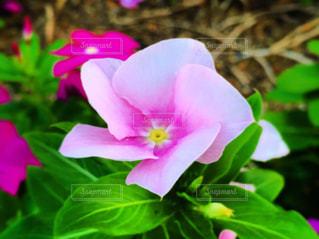 花の写真・画像素材[2513049]