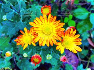オレンジ色の花の写真・画像素材[2660969]