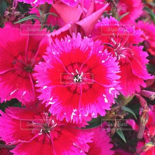 鮮やかなピンクの花の写真・画像素材[3161245]