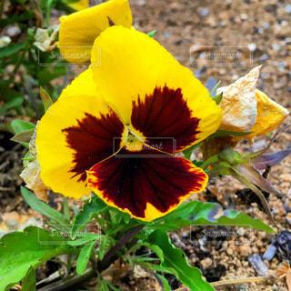 緑の葉の黄色い花の写真・画像素材[3296926]