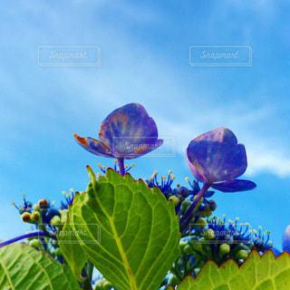 下から見た紫陽花の写真・画像素材[3308008]