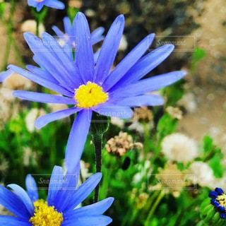 紫色の花の写真・画像素材[3308010]