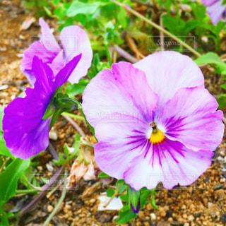 紫色のパンジーの写真・画像素材[3314375]