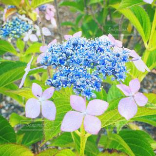 ピンクと青の花の写真・画像素材[3339617]