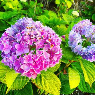 ピンクと紫の紫陽花の写真・画像素材[3371280]