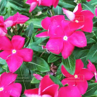 ピンクの花の写真・画像素材[3604253]