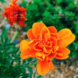 オレンジの花の写真・画像素材[3617805]