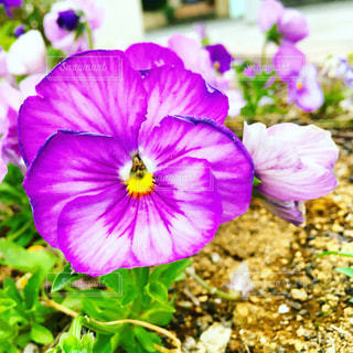 紫のパンジーの写真・画像素材[3632051]