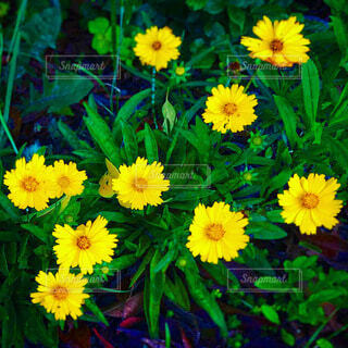 土手の道端に咲くオオキンケイギクの写真・画像素材[3704620]