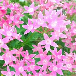 ピンクの花の写真・画像素材[3733940]
