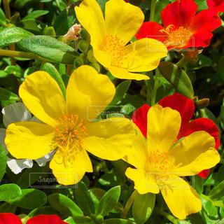 ポーチュラカの花の写真・画像素材[3736075]