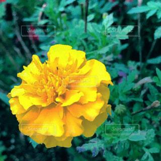 マリーゴールドの花の写真・画像素材[3828548]
