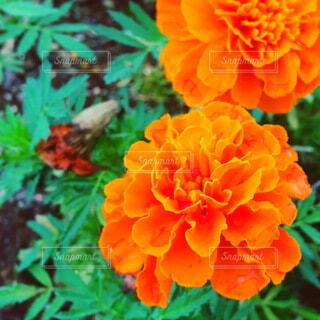 マリーゴールドの花の写真・画像素材[3899535]