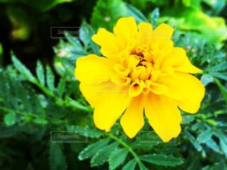 黄色いマリーゴールドの写真・画像素材[3930507]