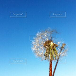 タンポポの綿毛の写真・画像素材[3957301]