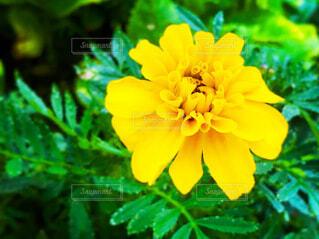 マリーゴールドの花の写真・画像素材[3968311]
