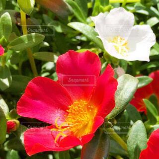 ポーチュラカの花の写真・画像素材[3968310]