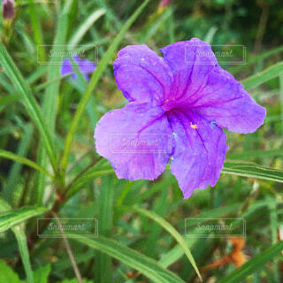 紫の花(ヤナギバルイラソウ)の写真・画像素材[3986372]