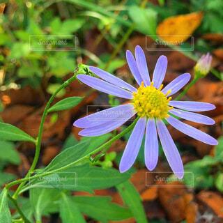 ヨメナの花の写真・画像素材[3988577]