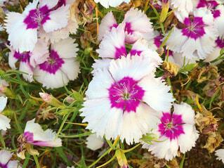 ダイアンサスの花の写真・画像素材[3992163]