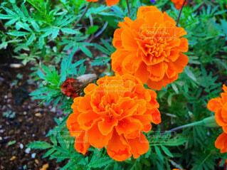 マリーゴールドの花の写真・画像素材[3992164]