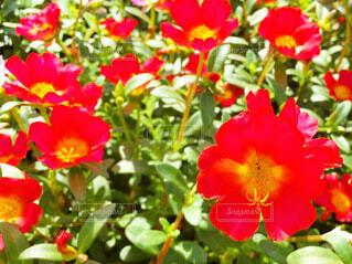 赤いポーチュラカの写真・画像素材[4001205]