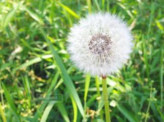 タンポポの綿毛の写真・画像素材[4007045]
