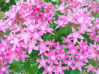 ピンクのペンタスの花の写真・画像素材[4007175]
