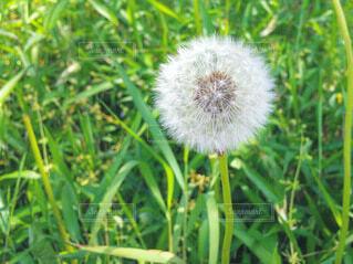 タンポポの綿毛の写真・画像素材[4024425]