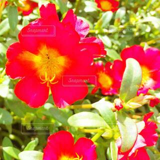 ポーチュラカの赤い花の写真・画像素材[4030754]