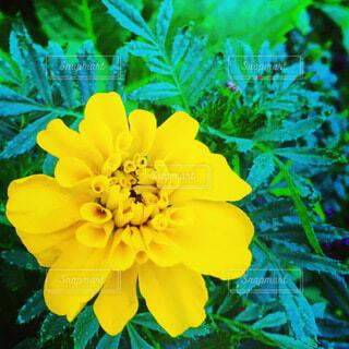 黄色いマリーゴールドの写真・画像素材[4036519]