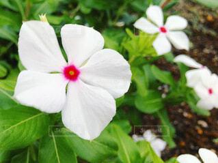 日々草の花の写真・画像素材[4036596]