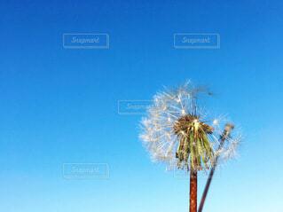 青い空とタンポポの綿毛の写真・画像素材[4038020]
