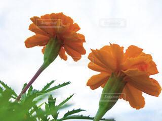 下から見上げたオレンジ色の花の写真・画像素材[4038019]