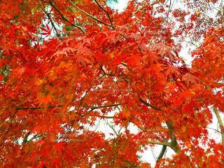 冬の紅葉の写真・画像素材[4038022]