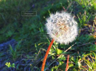 タンポポの綿毛の写真・画像素材[4040450]