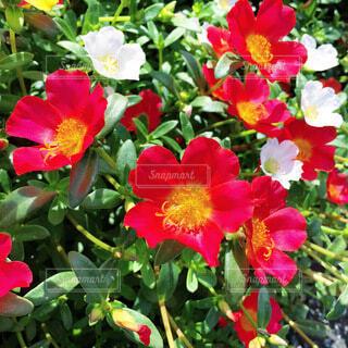 ポーチュラカの花の写真・画像素材[4081598]