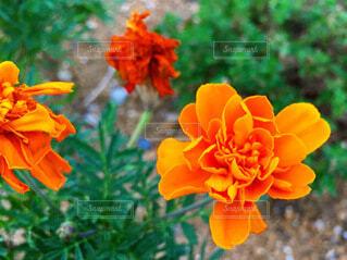 オレンジのマリーゴールドの写真・画像素材[4134173]