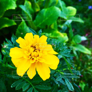 黄色いマリーゴールドの花の写真・画像素材[4215946]