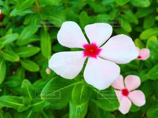 日々草の花の写真・画像素材[4219269]