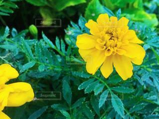 マリーゴールドの花の写真・画像素材[4221029]