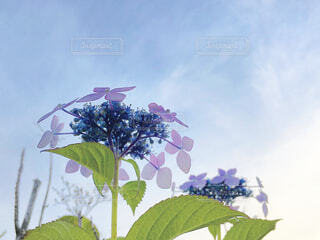 空と紫陽花の写真・画像素材[4258410]