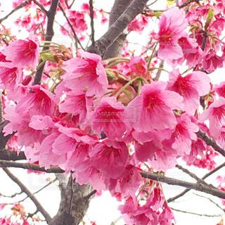 ピンクの梅の写真・画像素材[4258409]