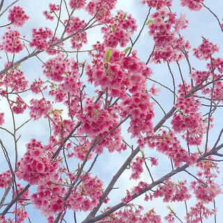 ピンクの梅の写真・画像素材[4263188]