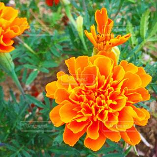 オレンジ色のマリーゴールドの写真・画像素材[4268476]