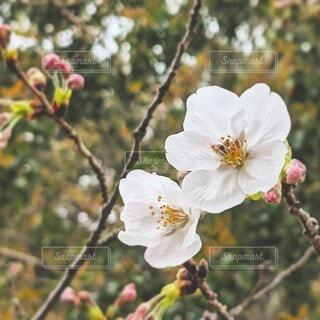 桜の花の写真・画像素材[4313934]
