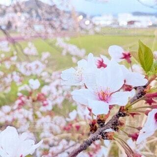 桜の花の写真・画像素材[4316858]